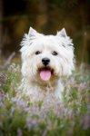 West Highland White Terrier-Hundezüchter (7. Ergebnis)