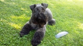 Foto: Kerry blue Terrier