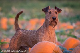 Foto: Irish Terrier