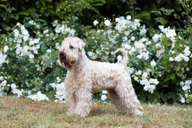 Irish Soft Coated Wheaten Terrier Zwinger Adventurer Kleve Nordrhein Westfalen Snautz De