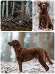 Chesapeake Bay Retriever-Hundezüchter (1. Ergebnis)