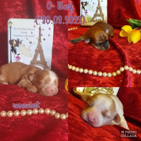 Foto: Biewer Yorkshire Terrier