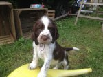 English Springer Spaniel-Hundezüchter (2. Ergebnis)