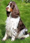 English Springer Spaniel-Hundezüchter (1. Ergebnis)
