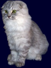 Scottish Fold Longhair (Bild)