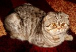 Scottish Fold Shorthair-Deckkater (7. Ergebnis)
