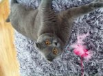 Scottish Fold Shorthair-Deckkater (6. Ergebnis)