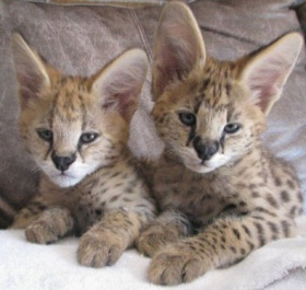 Toyger Cat For Sale Canada
