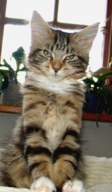 Foto: Maine Coon