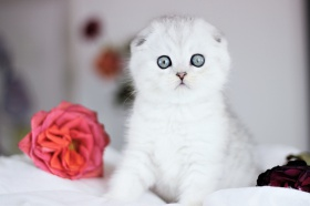 Foto: Scottish Fold Shorthair
