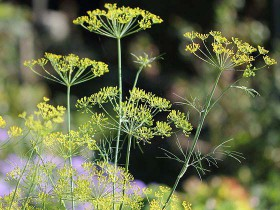"Dill. (Foto: Holger Casselmann, <a href=""http://commons.wikimedia.org/wiki/File:Anethum_graveolens_HC1.jpg"" rel=""nofollow"">Wikimedia Commons</a>, <a href=""http://creativecommons.org/licenses/by-sa/3.0"" rel=""nofollow"">CC BY-SA 3.0</a>)"