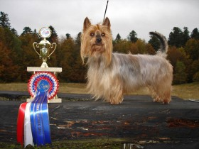 Australian Silky Terrier Mylegend Willroy European Best of Breed Veteran. (Foto: I. Höhne)